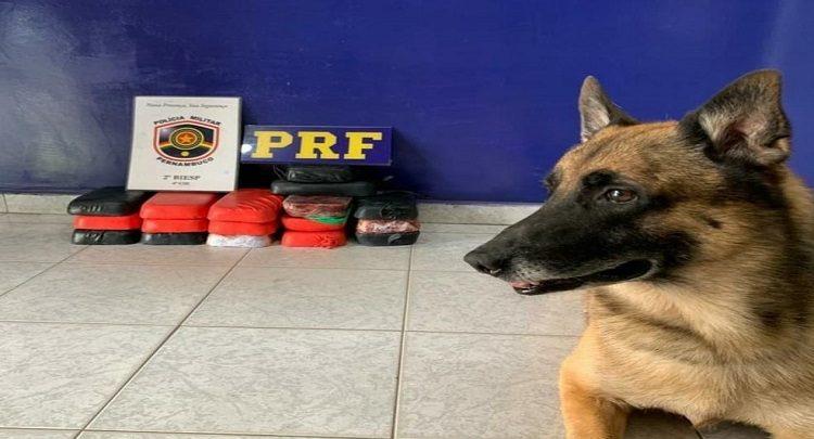 O cão ´Aço´ fmais uma vez detectou a droga e sé sempre chamado na hora certa.